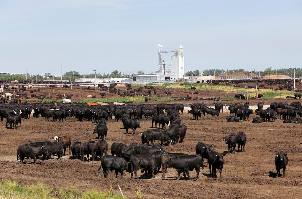 Feeder cattle in a feedlot